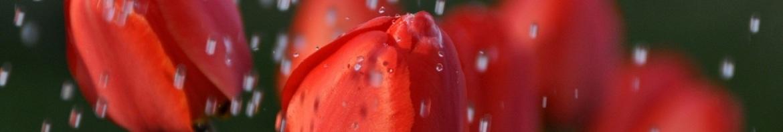 tulips-in-the-rain